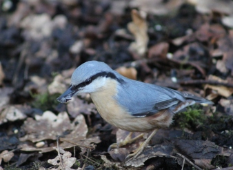 Nuthatch Grabbing some sunflower seeds, in a cold winter.
